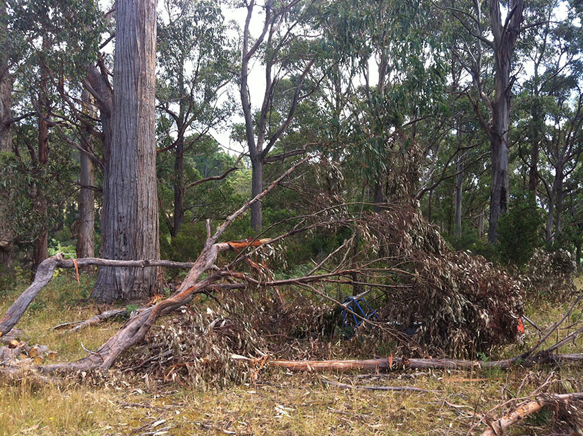 Cause for concern: a large branch fallen from a stringy bark onsite